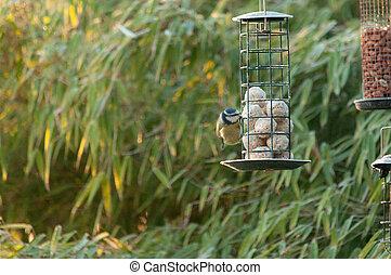 A blue tit feeding in a garden