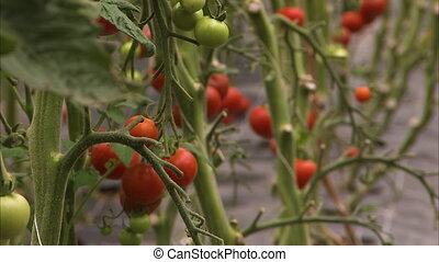 Ripe and unripe cherry tomatoes - A blur to focus shot of...