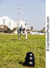 a, blurry, 黒い犬, おもちゃをかみなさい, ∥において∥, ∥, 前部, の, ∥, フレーム, ∥で∥, a, pitbull, 喜々として, 動くこと, ∥に向かって∥, それ, から, ∥, 距離。