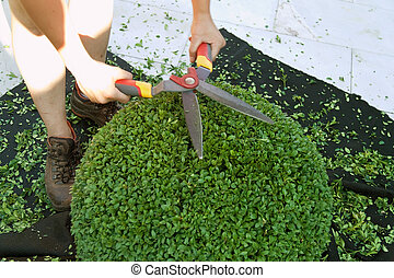 a book tree is cut - a box-tree is cut by a gardener on a...