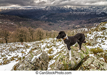 A border collie dog is standing on a rocky outcrop with snow covered mountains in the distance