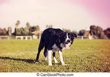 A border Collie dog standing on the grass at the park, concentrated on something off frame. Stylized with cross process aesthetics.