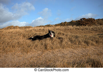 A border collie in the grass