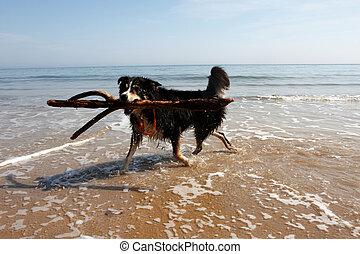 A border collie playing