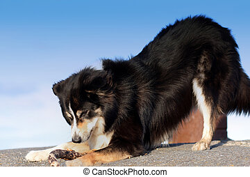 A border Collie, playing