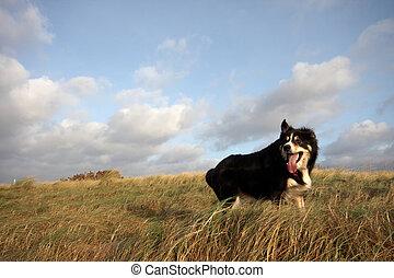A border collie walking