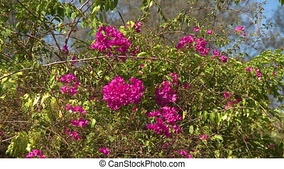 A bougainvillea tree blooming with pink flowers - A daylight...