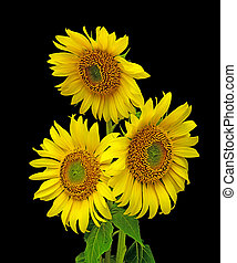 a bouquet of blooming sunflowers on a black background