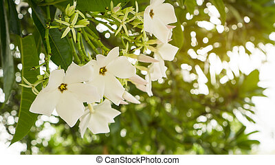 A bouquet of pretty white petals of Suicide tree's flower, called in other name are Pong Pong and Othalanga tree, a beautiful white petals blooming on green leaf background