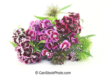 Sweet William - a bouquet of Sweet William on a light ...