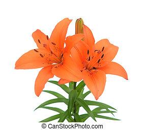 Orange color lily flower