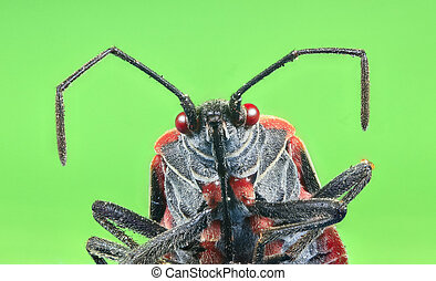 A boxelder bug (Boisea trivittata), commonly known as a stinkbug.