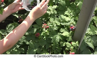 A boy collects BlackBerry - The boy in the garden collects...