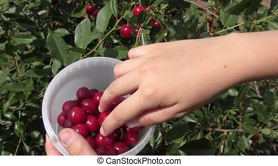 A boy collects cherries