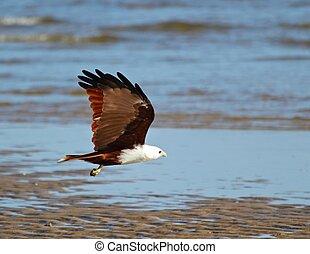 A Brahmani Kite flies along the water's edge
