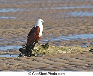A Brahmani Kite roosts on a log waiting for its mate to join it,
