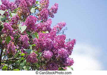 A branch of a blossoming lilac against the blue sky