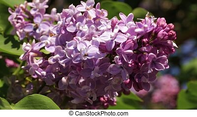 a branch of a blossoming lilac