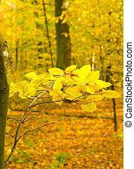 A branch of alder with yellow leaves