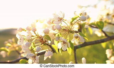 A branch of blooming apple tree on light spring wind at...