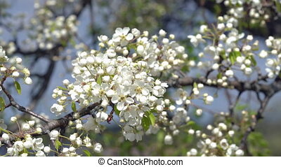 A branch of blooming apple tree on light spring wind. Close...