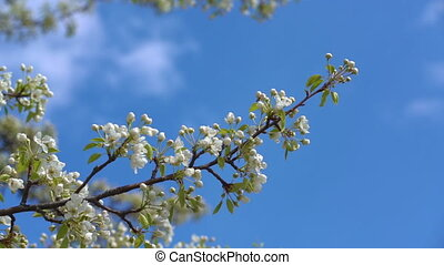 A branch of blooming apple tree on light spring wind over...