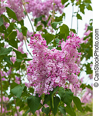A branch of blossoming lilac, Soviet sort