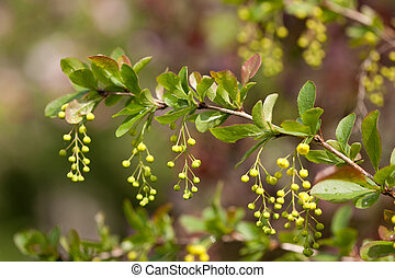 European barberry (Berberis vulgaris) - A branch of European...