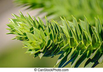 A branch of evergreen spiny Araucaria tree aka Jurassic Era plant