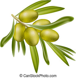 A branch of green olives. Vector illustration on white ...
