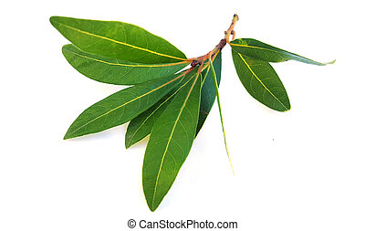 A branch of laurel on white background
