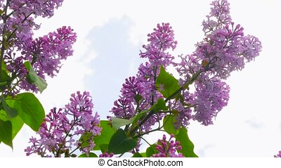 a branch of lilac against the sky - a flowering branch of a...