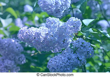 a branch of lilac green background, macro close-up
