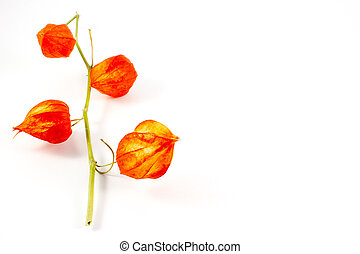 A branch of physalis on white background