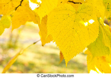 a branch of poplar with yellow leaves