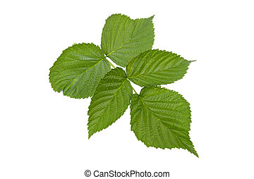 a branch of raspberry with green leaves on a white background