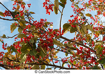 A branch of ripe red berries on a background of blue sky in autumn.
