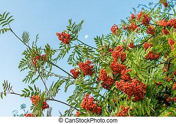 A branch of ripe red rowan against the sky in autumn