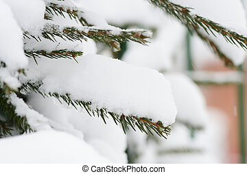 A branch of spruce covered with heavy snow close up