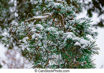 A branch of spruce covered with snow close up