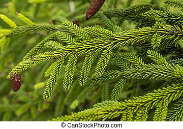 A branch of spruce with green needles and cones close-up
