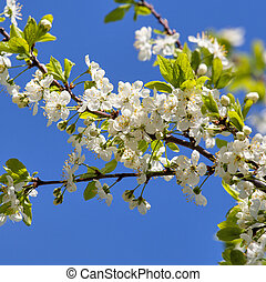 A branch of the cherry blossoms against the blue sky
