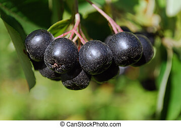 A branch of the ripe berries of a chokeberry. The time of...