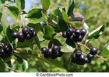 A branch of the ripe berries of a c