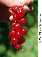 A branch of the ripe berries of a r