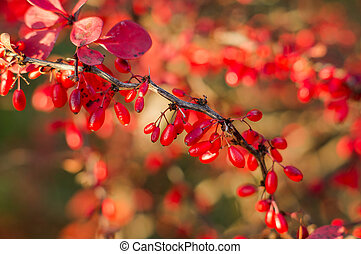 A branch of the ripe berries of barberry