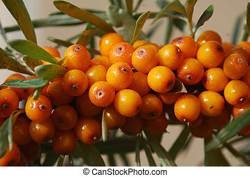 A branch of the ripe berries of sea