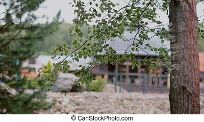A branch of the tree with lots of small leaves that are...