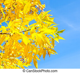 A branch of tree with yellow leaves