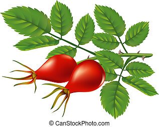 A branch of wild rose hips. Vector illustration.